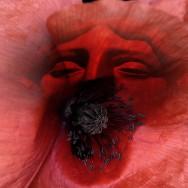 Mohnblüte, wärmender Äther